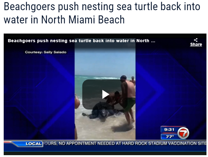 News headline and video that reads: beachgoers push nesting turtle back into water